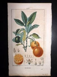 Turpin C1815 Antique Botanical Print. Oranger. Orange 255